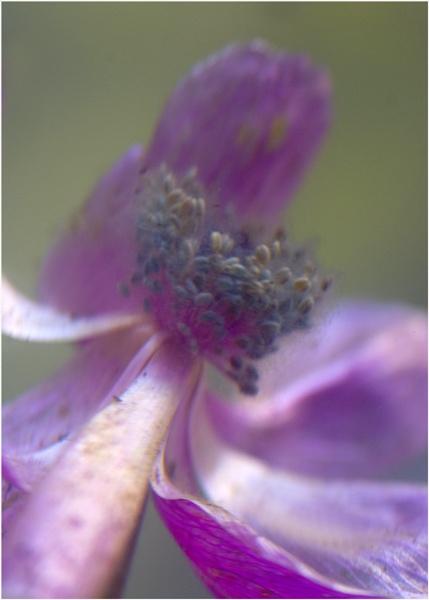 Anemone . by Desb