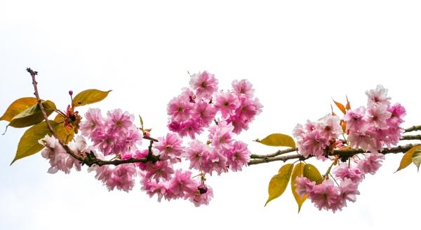 High Key Blossom by Ian Hunter