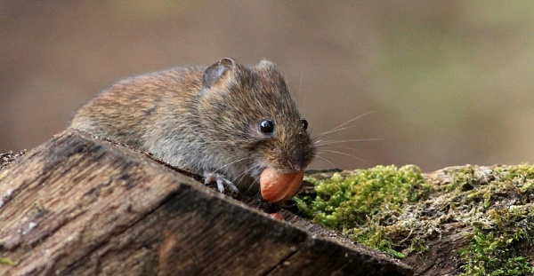 bank vole by baxster