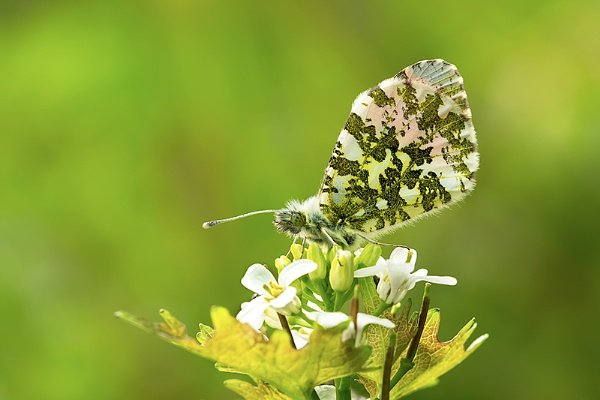 Orange Tip by ChrisWallace
