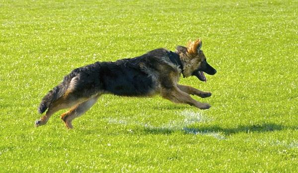 Shepherd on the Run by altosaxman