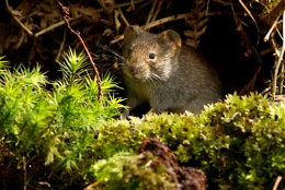 My first try for a Bank vole