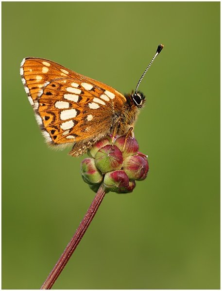 Duke of Burgundy by NigelKiteley