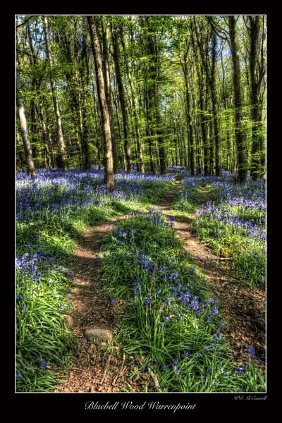Bluebell Wood Warrenpoint by Armakk