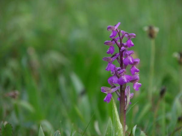 Green Winged Orchid by longhoss
