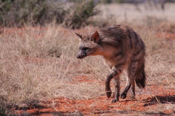 Aardwolf by Msalicat