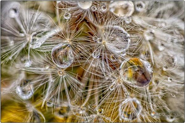 Dandelion Macro by adonoghue