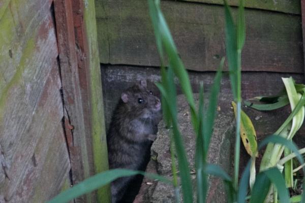 ratty by russmac