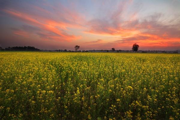 Mustard field by arindomb