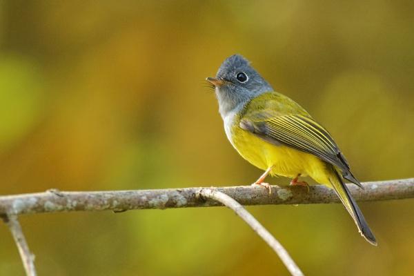 Gray-Headed Canary Flycatcher by arindomb
