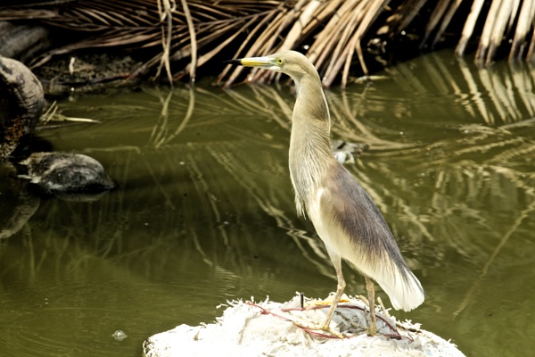 Indian pond heron by alansnap
