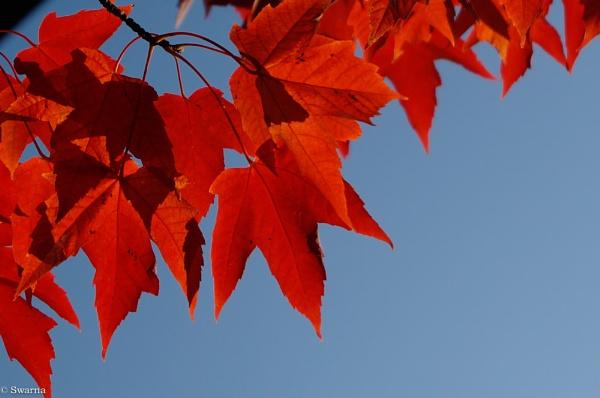Maple Leaves by Swarnadip