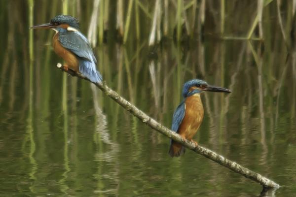 Kingfishers by pmeswani