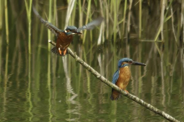 Female Kingfisher taking off by pmeswani