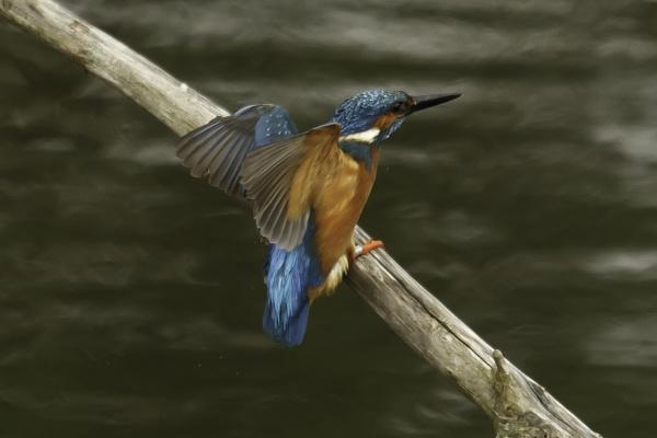 Kingfisher approaching to land by pmeswani