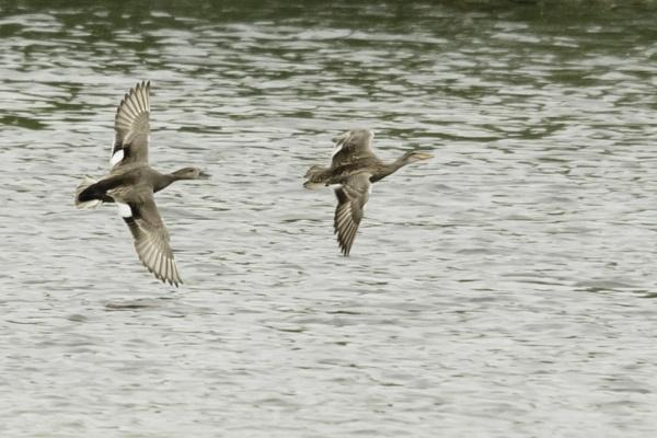Ducks by pmeswani