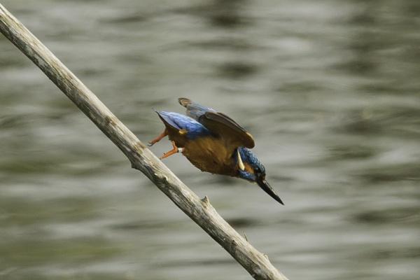 Kingfisher by pmeswani