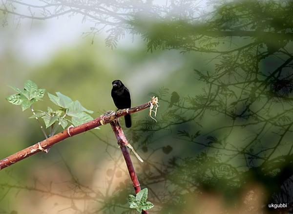 Bird Pied bushchat by ukgubbi