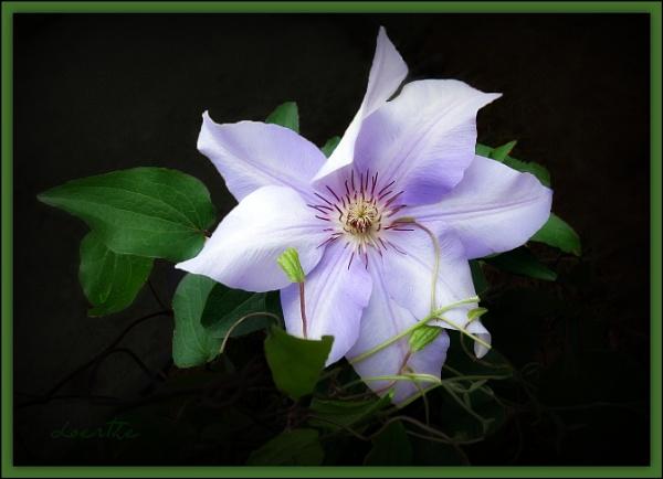 Delicate petals by doerthe