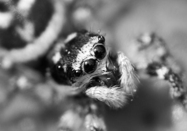 Jumping spider by sadler2121
