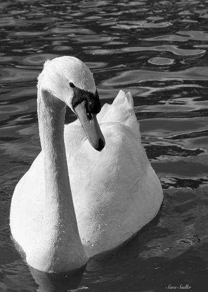 Swan by sadler2121