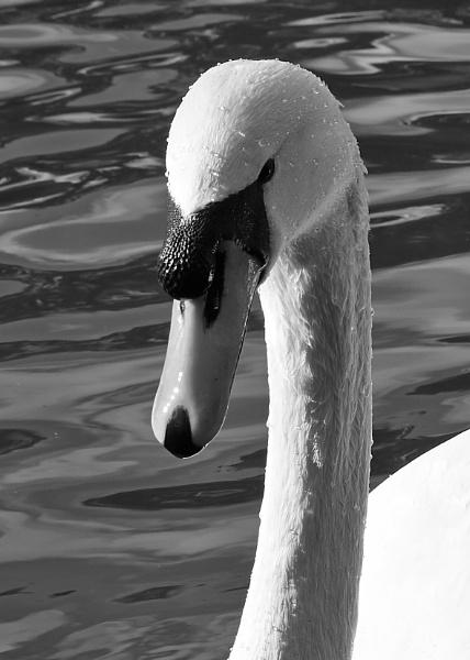 Swan head by sadler2121