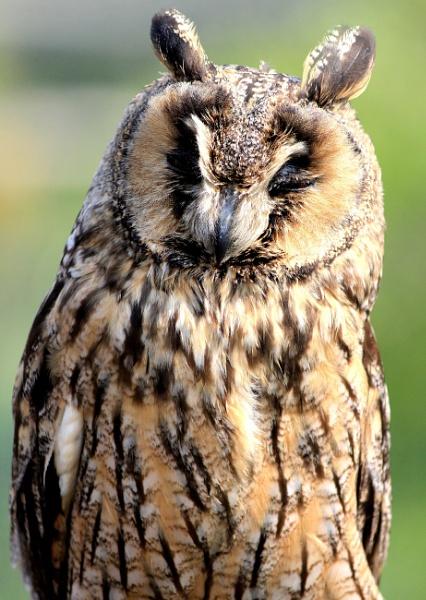 Long Eared Owl by Myathebirdwatcher999