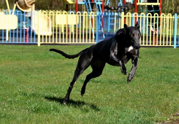 Leaping Greyhound by elizabethapike62