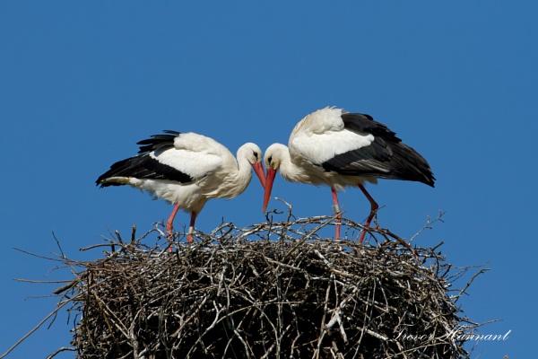 Nesting Storks by trevrob