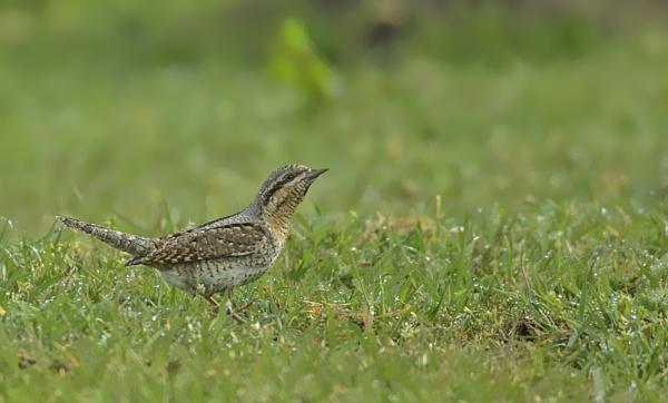 Wryneck by katholdbird
