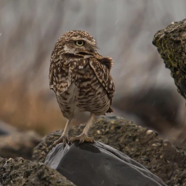 Burrowing Owl Lost by glimpsesborrowed