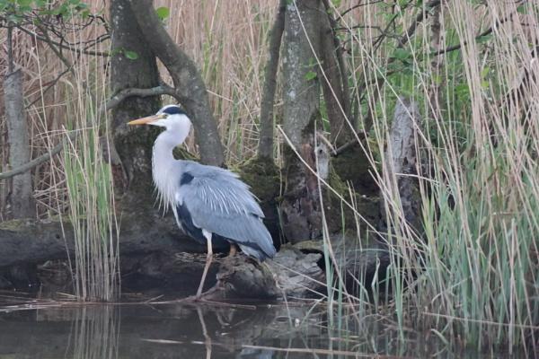 Grey Heron by Spring2bok