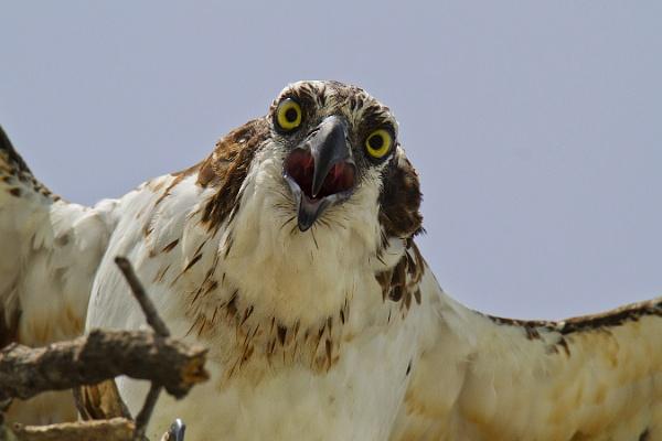 Osprey by BHSDallas