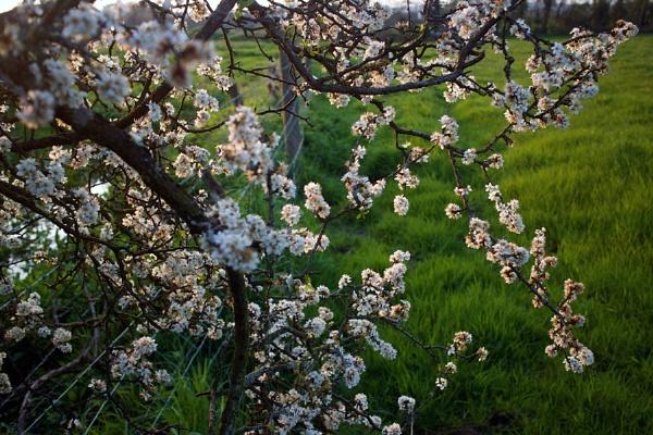 Blackthorn blossom by jameswburke