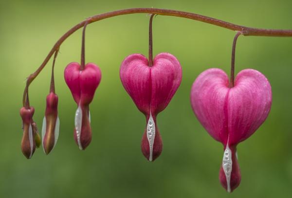 Bleeding Heart by Pete