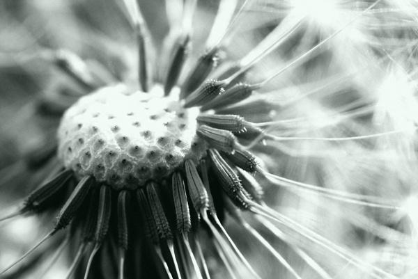 Dandelion by harvestman