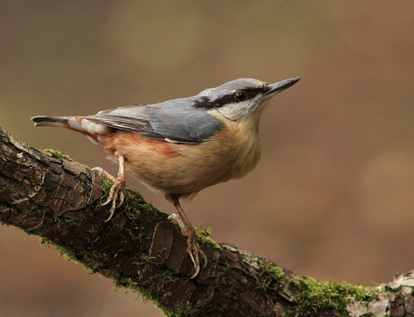 nuthatch by baxster