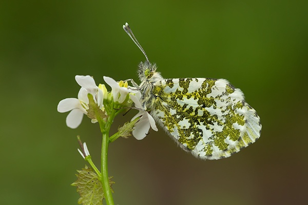 Orange Tip 2 by ChrisWallace