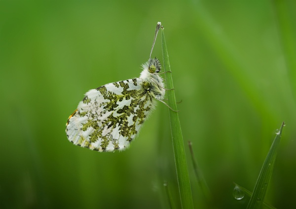 Orange Tip 3 by ChrisWallace