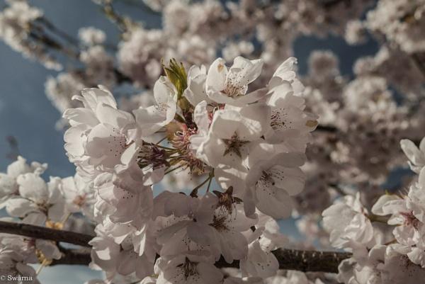 Cherry Blossoms VI by Swarnadip