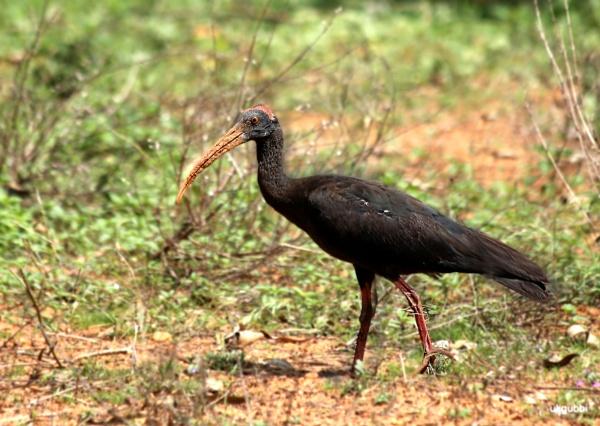 """Bird \""""Red naped black Ibis\"""" by ukgubbi"""