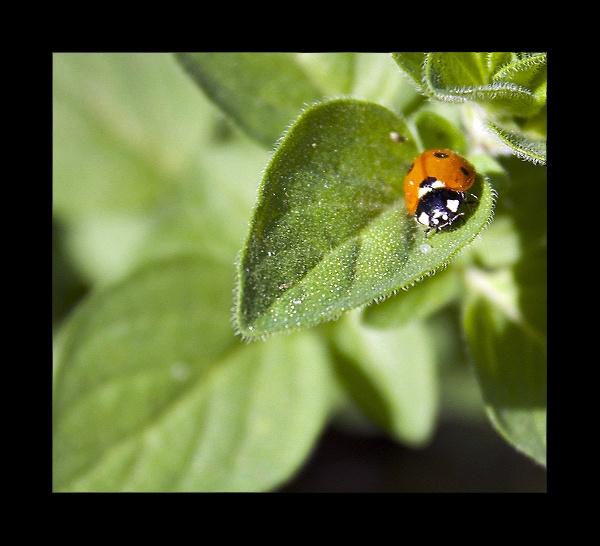 Ladybug on my Oregano by BrenLee
