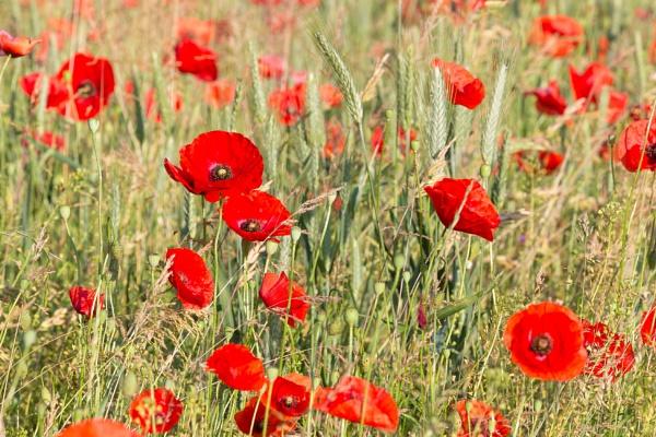 Poppy Field by livinglevels