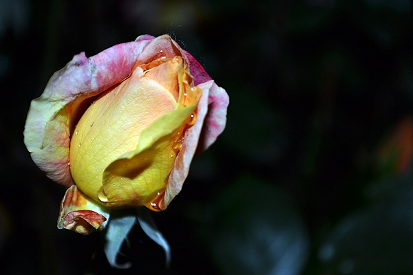 Rose after rain by Laslo