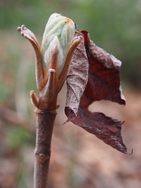 Old and New--Oakleaf Hydrangea by handlerstudio