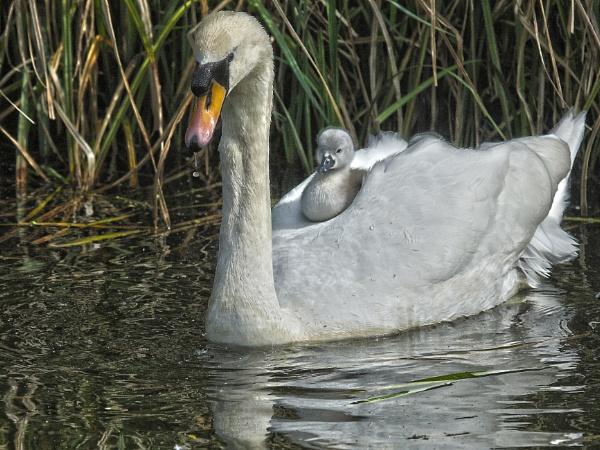Swan plus one by Adamzy