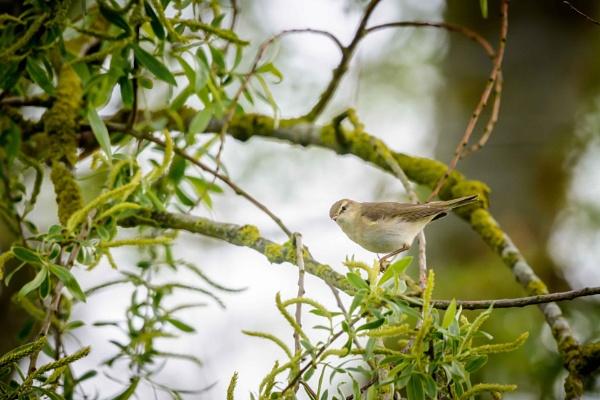 Garden Warbler by AndrewCee