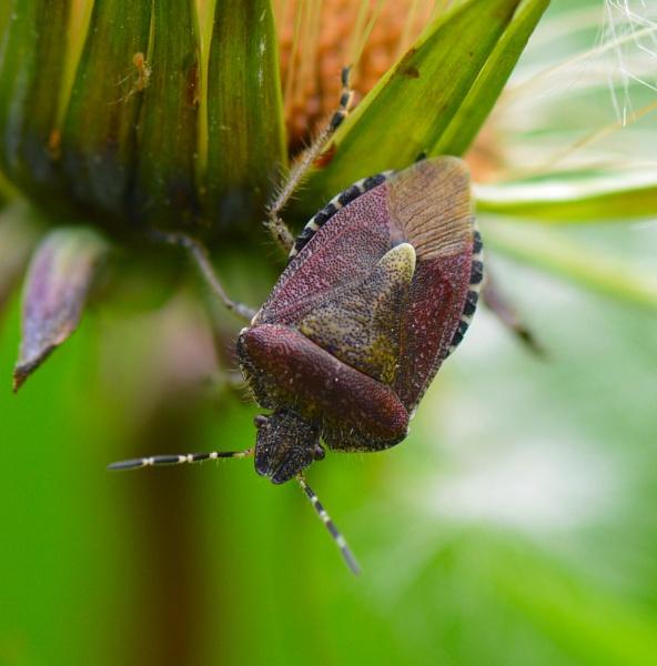 Purple shield bug by Danny1970