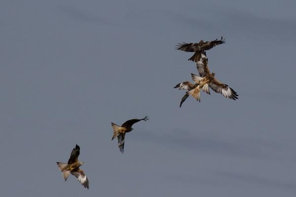 Red Kites Flying by karkley