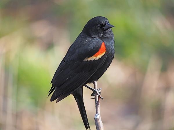 Red-winged Blackbird by Xmplary